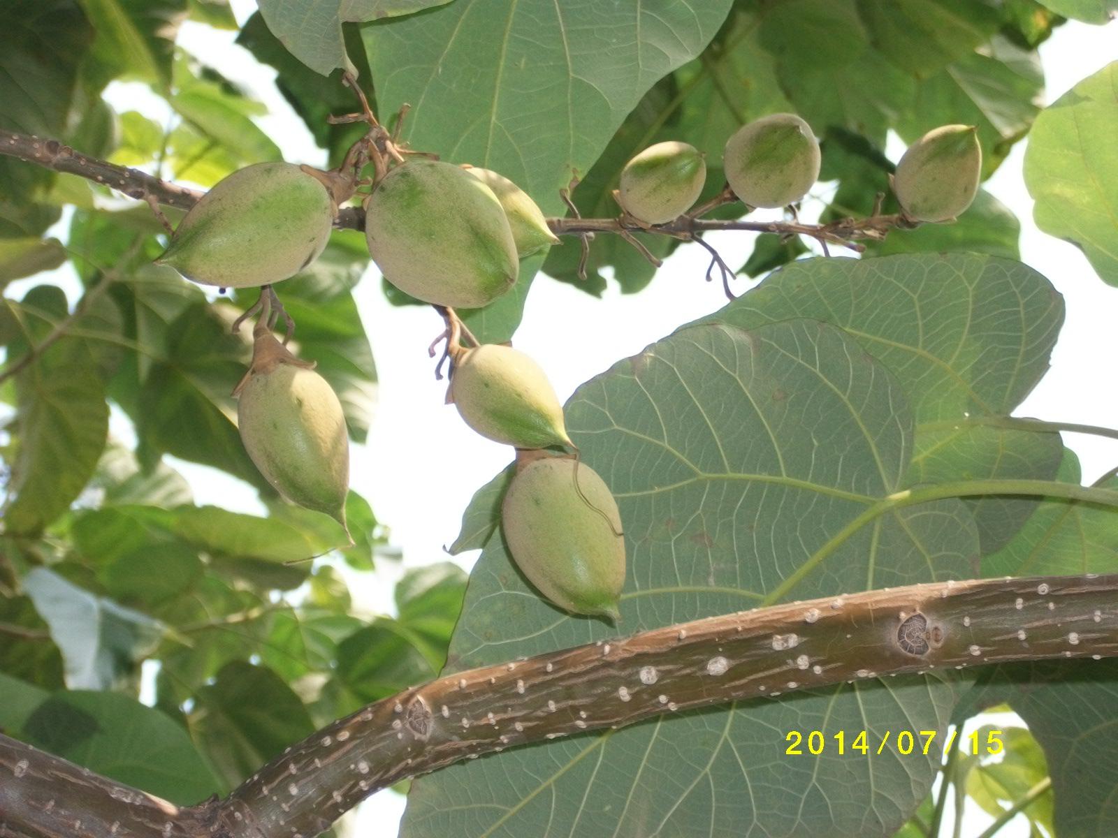 Piantare Alberi Di Paulonia più rapida crescita del seme dell'albero di paulownia