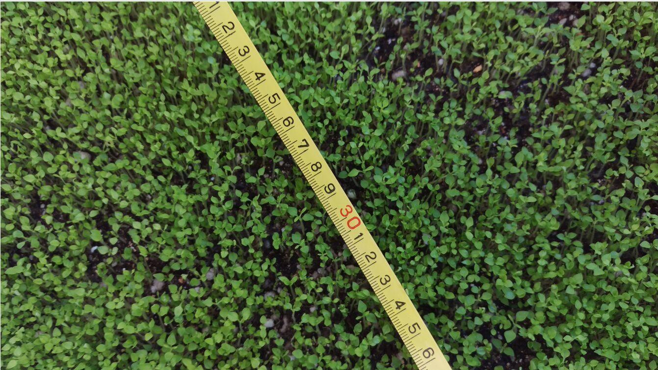 Piantare Alberi Di Paulonia nuovo fresco raccolto semi paulownia ibrido 9501, shan tong