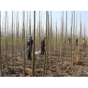 Best supplying season paulownia roots for planting