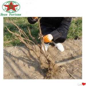 Chinese cold resistant Paulownia root cutting for plant trees