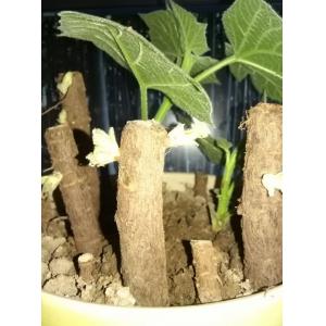 Chinoise coupe de racines r sistant au froid paulownia pour planter des arbres - Camelia resistance au froid ...