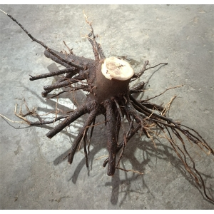 Disinfected paulownia seedling stump with strong root system