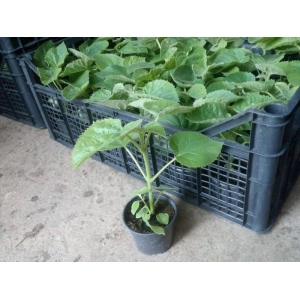 Fast growth paulownia hybrid 9501 seedlings for planting