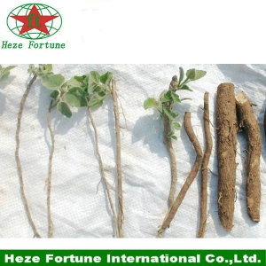Fresh paulownia elongata roots cutting for sale