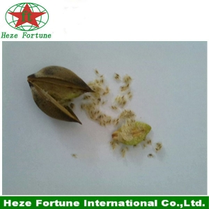 Fresh paulownia elongata seeds for breeding seedling