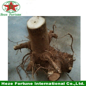 Fresh paulownia shan tong whole stumps for fast growing tree