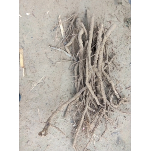 Hottest paulownia tree part root cutting cold resistant
