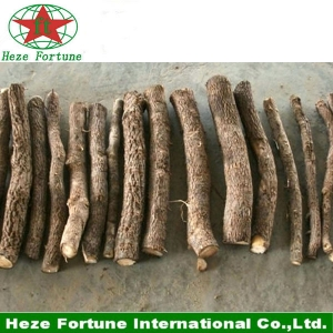 Hybrid 9501 paulownia roots cutting for planting