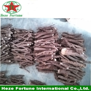 The fastest growing tree in the world paulownia elongata roots cutting for breeding