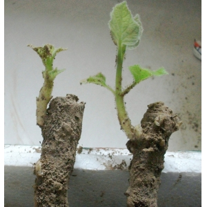 save time and work paulownia root better than seeds