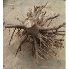 China 2-4 weeks sprout paulownia stump root system highest survive factory