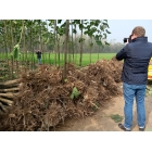 China Best wood quality species hybrid 9501 paulownia root stump factory