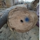 China Hybrid 9501 root after 5 years paulownia log factory