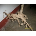 China Paulownia wood timber fast growing species hybrid 9501 young stump factory