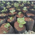 China easy survive paulownia tree 9501 root seedling factory