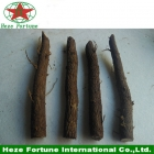 China paulownia elongata roots cutting factory