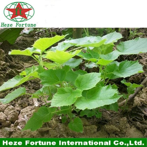 les plus croissance rapide semences arbre paulownia elongata pour le bois. Black Bedroom Furniture Sets. Home Design Ideas